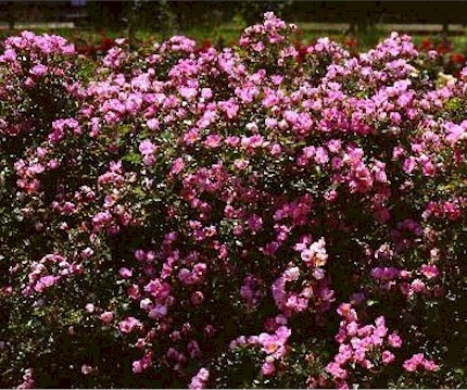 Large Quanies Of Gentle Pink Flowers On A 2 3 Tall Shrub Real Nice Rose