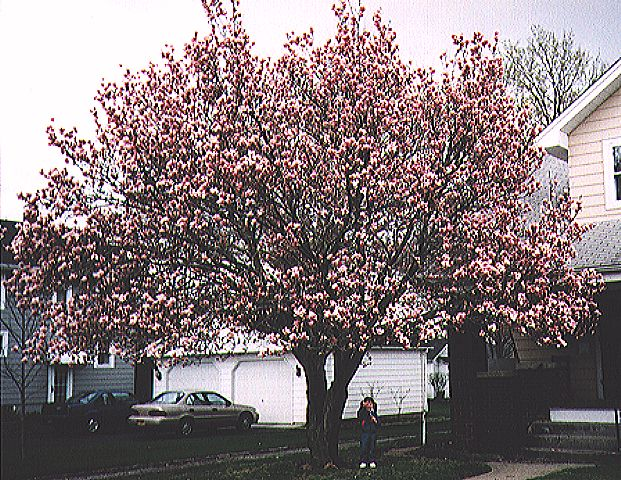 star magnolia tree pictures. #39;Star#39; Magnolias generally