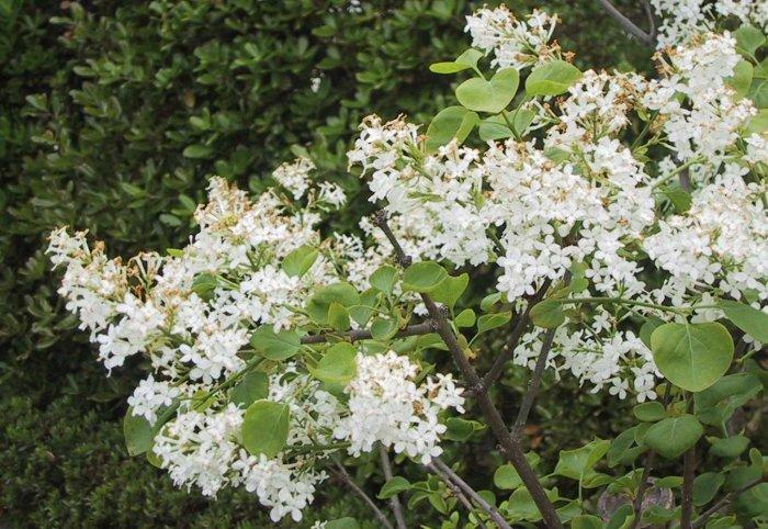 Magnificent white flower shrub festooning ball gown wedding sandy bottom shrubs mightylinksfo